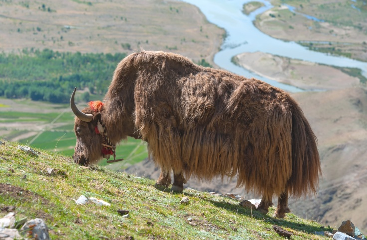 Tibetan yak with mountain background